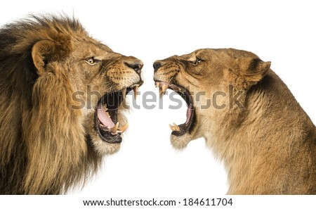 Close-up of a Lion and Lioness roaring at each other #184611704