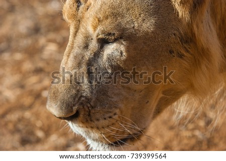 Close up of a lion(Panthera leo) in a hot day inside an enclosure #739399564