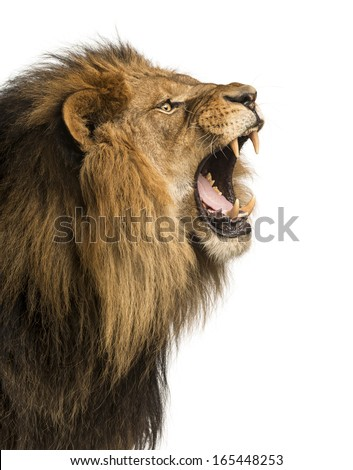 Close-up of a Lion roaring, isolated on white #165448253