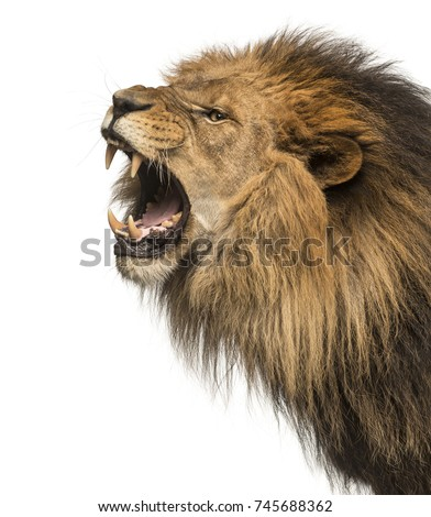 Close-up of a Lion roaring profile, Panthera Leo, 10 years old, isolated on white #745688362