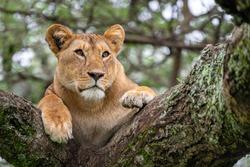 Close-up of a lioness on an acacia tree watching her surroundings carefully, Lake Ndutu, Tanzania, Africa.