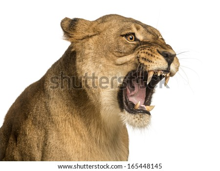 Stock Photo Close-up of a Lioness roaring, Panthera leo, 10 years old, isolated on white