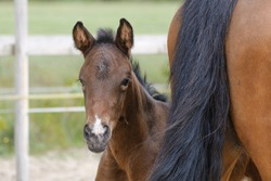 Close-up of a little brown mare foal, the foal looks from behind the mother's tail.