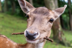close-up of a little deer looking into the camera and chewing on a stick, branch or twig