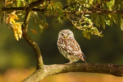 Close up of a Little Owl (Athene noctua) perched on a branch in a tree, autumn in UK.