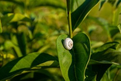 Close-up of a little snail on a grean leaf with a grean background out of focus, picture from Northern Greece.