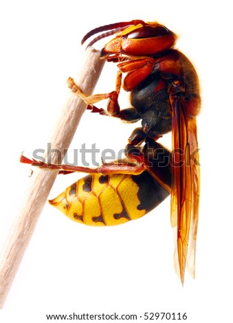 Close-up of a live European Hornet (Vespa crabro) on white background. Macro shot with shallow dof. - stock photo