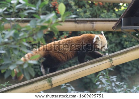 Close up of a lovely and cute red panda, walking on its bamboo branche. Tree branches, green tropical leaves and nature in background, Paris zoo, France.