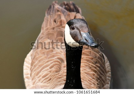 close up of a lovely Canada goose #1061651684
