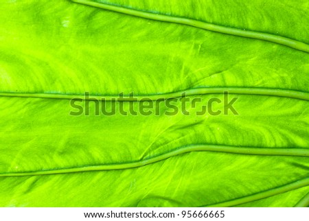 Close up of a lush green tropical leaf backlit by the sun