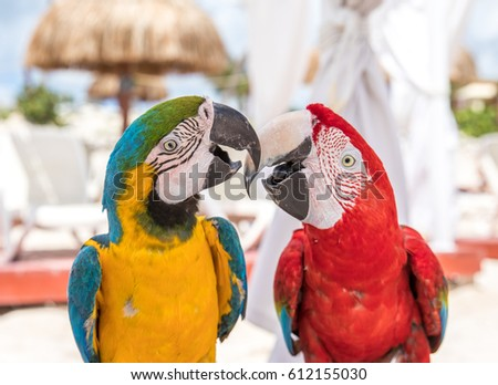 Close-up of a macaw couple. Cancun, Mexico.