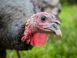 Close-up of a male domestic turkey (Meleagris gallopavo) in the green blurred background