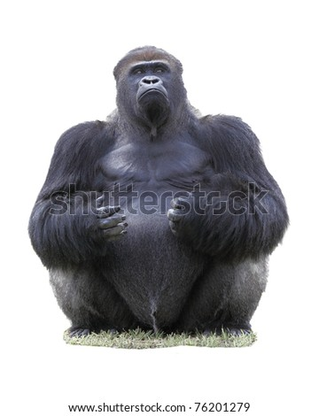Close up of a male Eastern lowland silverback gorilla (Gorilla Beringei Graueri), isolated on white