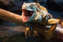 Close-up of a male Green Iguana (Iguana iguana). Green Iguana Reptile Portrait Closeup