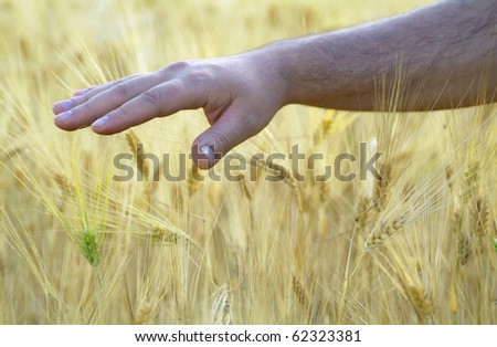Close-up of a male hand touching wheat