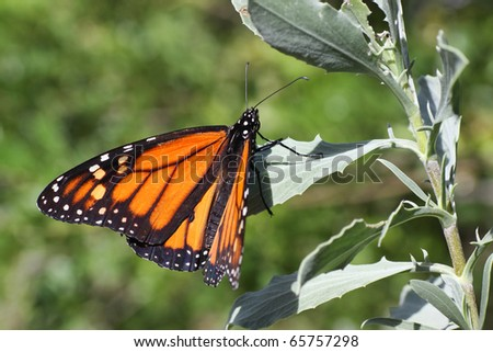 Close-up of a male monarch butterfly (Danaus plexippus)