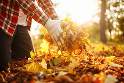 Close up of a male volunteer rakes and grabs a small pile of yellow red fallen leaves in the autumn park. Cleaning the lawn from the old leaves. Gardening and seasonal communal work concept.
