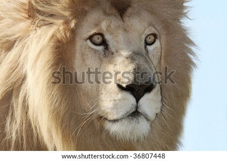 Close up of a male white lion with a large mane and piercing eyes