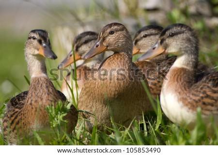 Close-up of a Mallard or Wild Duck (Anas platyrhynchos)