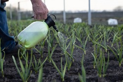 Close-up of a man's hand fertilizing garlic with a special liquid in a garden bed in spring. Fertilizing the vegetable garden. Close-up. Place for your text.