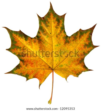 Close-up of a  maple leaf isolated on  white background