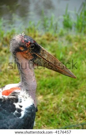 Close up of a Marabou Stork