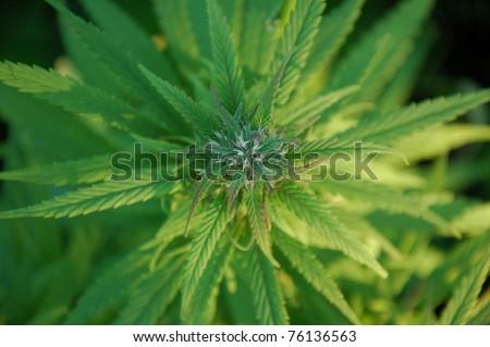 close up of a marijuana plant bud