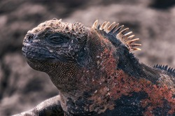 Close-up of a marine iguana, looking like a prehistoric moster boss.