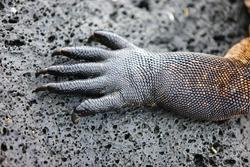 Close up of a marine iguana paw