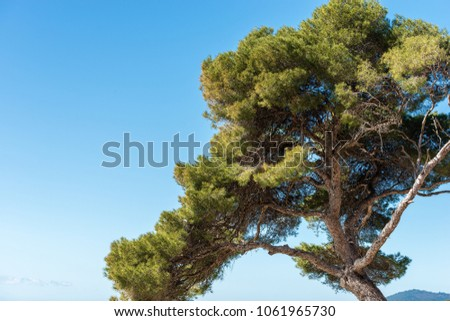 Close-up of a maritime pine tree with trunk and green needles on a blue sky. Liguria, Italy, Europe #1061965730
