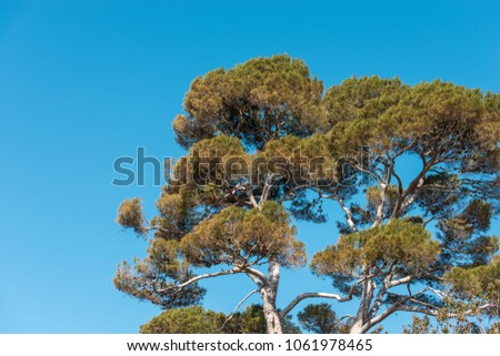 Close-up of a maritime pine tree with trunk and green needles on a blue sky. Liguria, Italy, Europe #1061978465