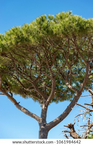 Close-up of a maritime pine tree with trunk and green needles on a blue sky. Liguria, Italy, Europe #1061984642