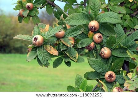 close up of a medlar tree with fruits