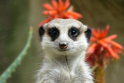 Close up of a meerkat face alert and looking for danger
