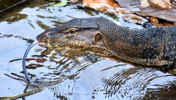Close up of a monitor lizard drinking water