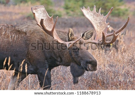 Close up of a moose, Moose bull look straight at you with mean eyes. He is truly the king in this forest, Moose in water