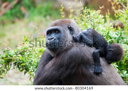 close-up of a mother gorilla and her cute baby