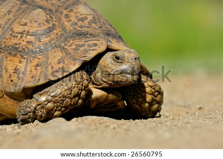 Close-up of a Mountain tortoise (Geochelone pardalis)