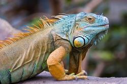 Close-up of a multi-colored male Green Iguana (Iguana iguana).