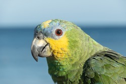 Close-up of a multicoloured parrot in front of the sea on playa blanca, Lanzarote, Canary Islands, Spain.