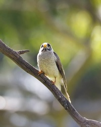 close-up of a noisy miner bird in Adelaide, South Australia, parklands during spring