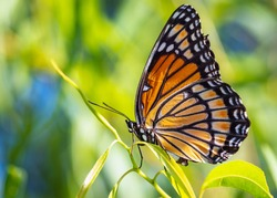 Close up of a orange butterfly on a green background.