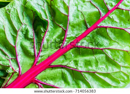 Close up of a organic and homegrown swiss chard leaf. #714056383