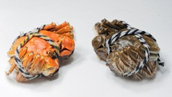 Close up of a pair of Chinese mitten crab tied up with ropes, shanghai hairy crab isolated on white background, one is red and steamed, another is raw.
