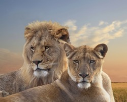 Close Up of a Pair of Young African Lions Resting at Sunset
