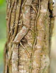 Close up of a parasite plant growing on a healthy forest tree covered by its thick roots for surviving.