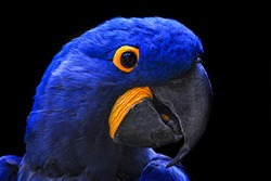 Close-up of a parrot head with black background