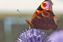 Close up of a peacock butterfly resting atop a globe thistle. A shallow depth of field highlights the insect's unusual facial features, dark underside and curled up tubular proboscis (tongue).