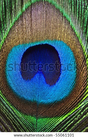 Close up of a peacock feather.