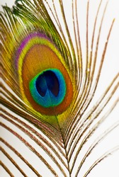 Close up of a peacock feather Background